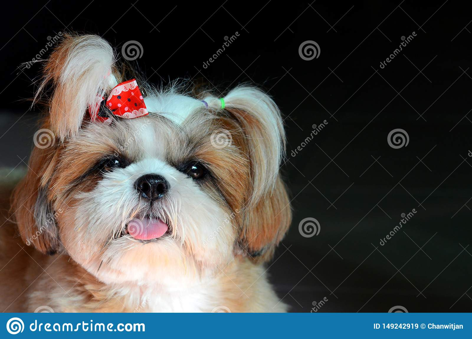 Adorable Shih Tzu dog stare at the camera