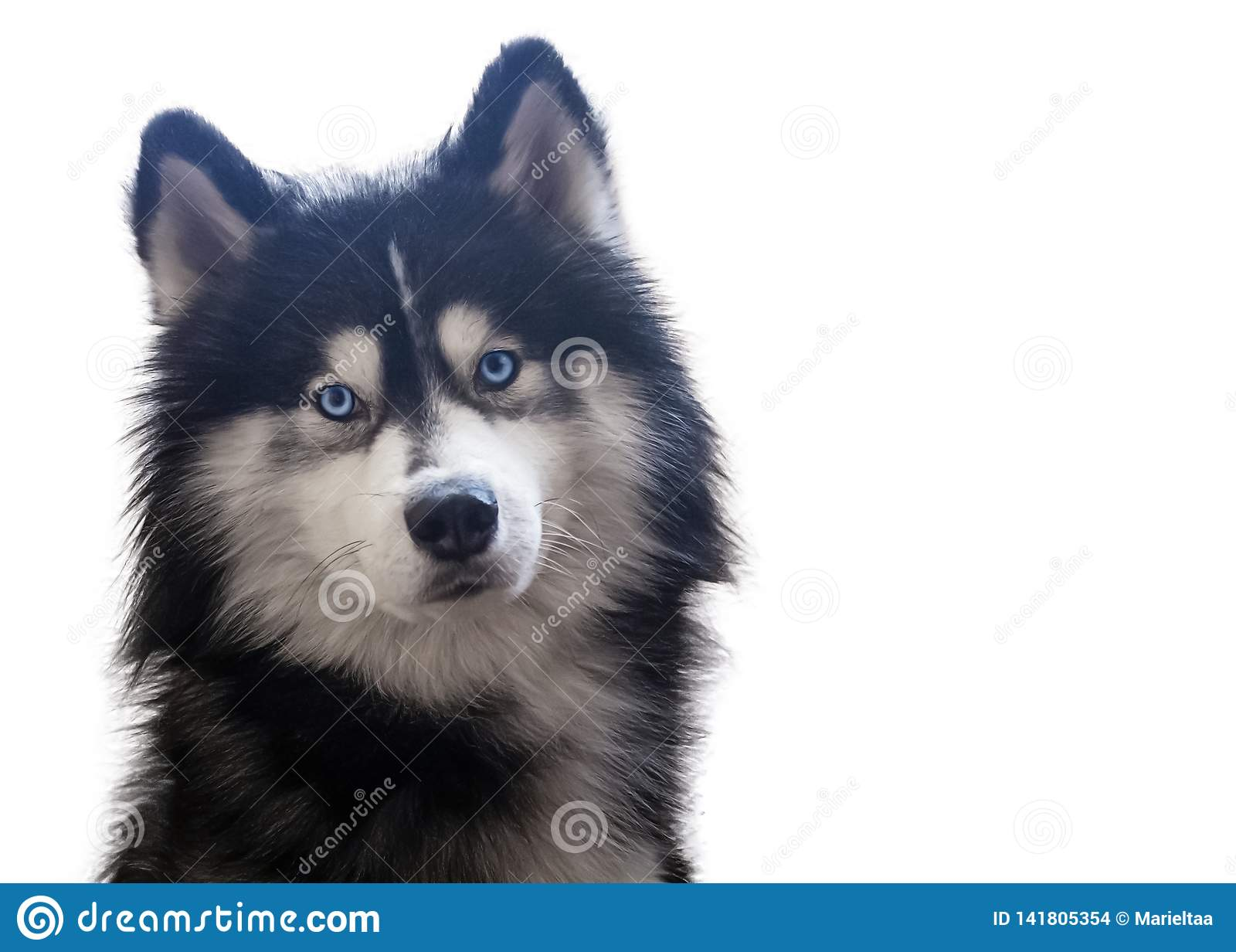Adorable siberian husky sitting and looks at camera with his bright blue eyes. Isolated