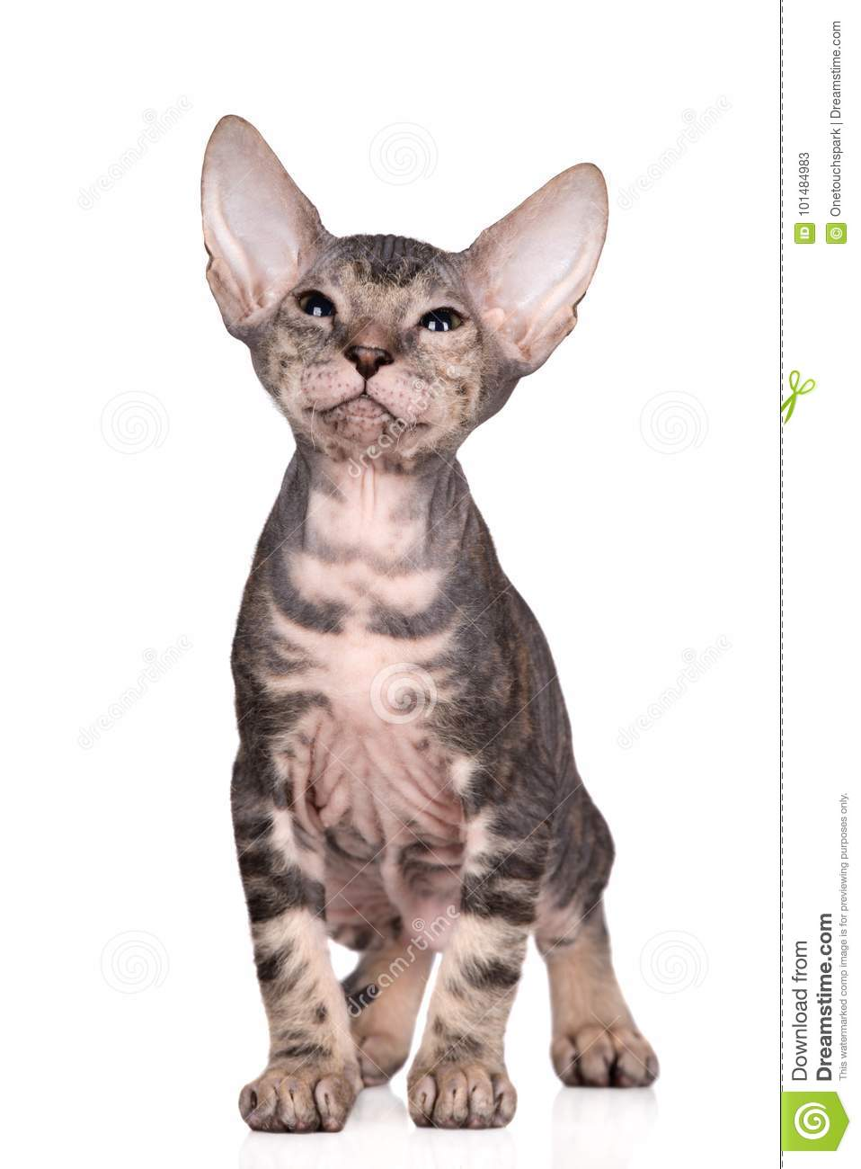 Adorable Sphynx Kitten Posing On White Stock Image - Image