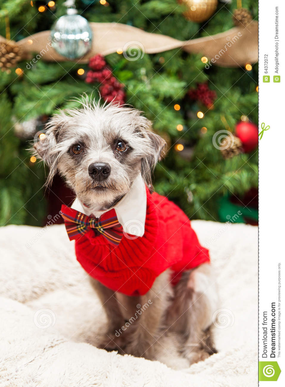 Big Dog Wearing Sweater Adorable Terrie...