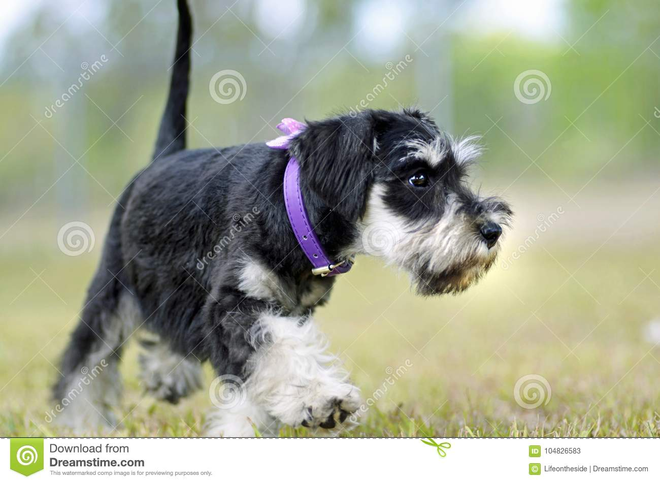Cute black silver Miniature Schnauzer puppy dog exploring outdoors