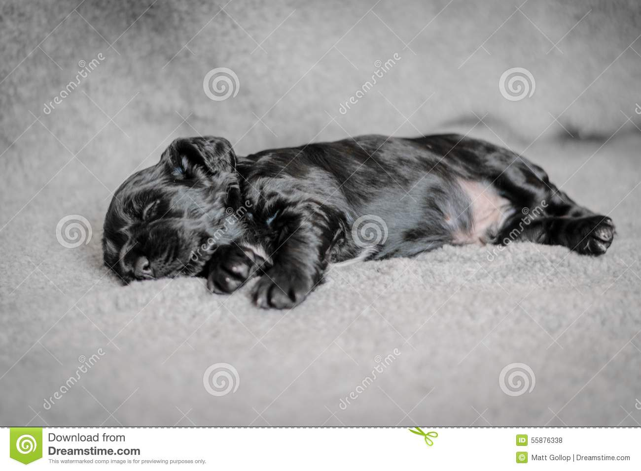 Adorable 4 Week Old Cocker Spaniel Puppies Stock Photo Image Of Baby Little 55876338