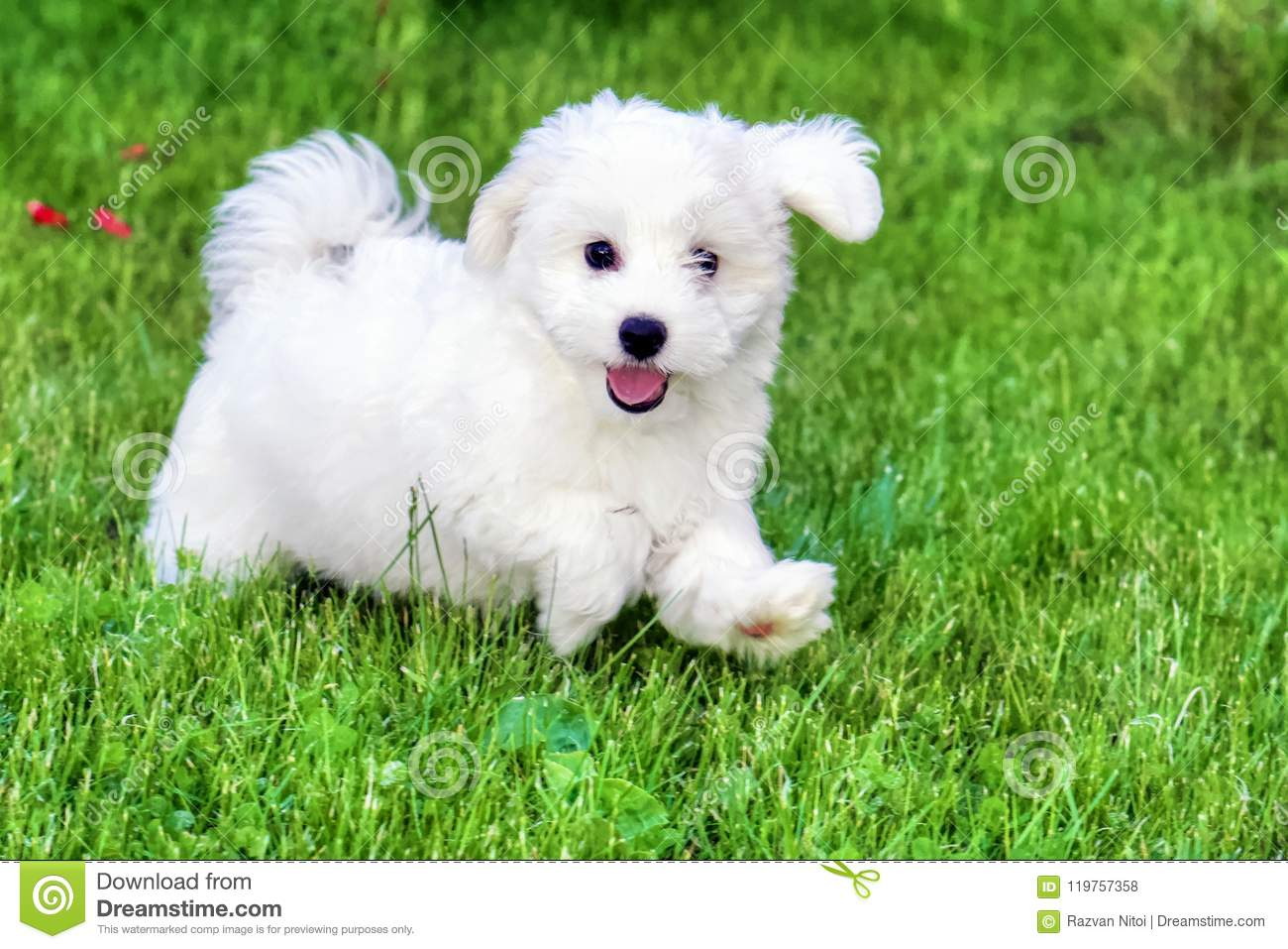 Adorable White Bichon Frise Puppy Playing In Grass Stock