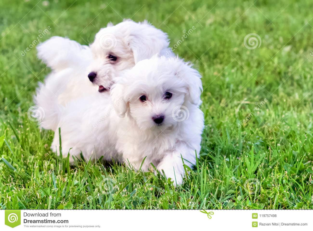 Cute White Bichon Puppies Playing In Green Grass Stock Photo Image