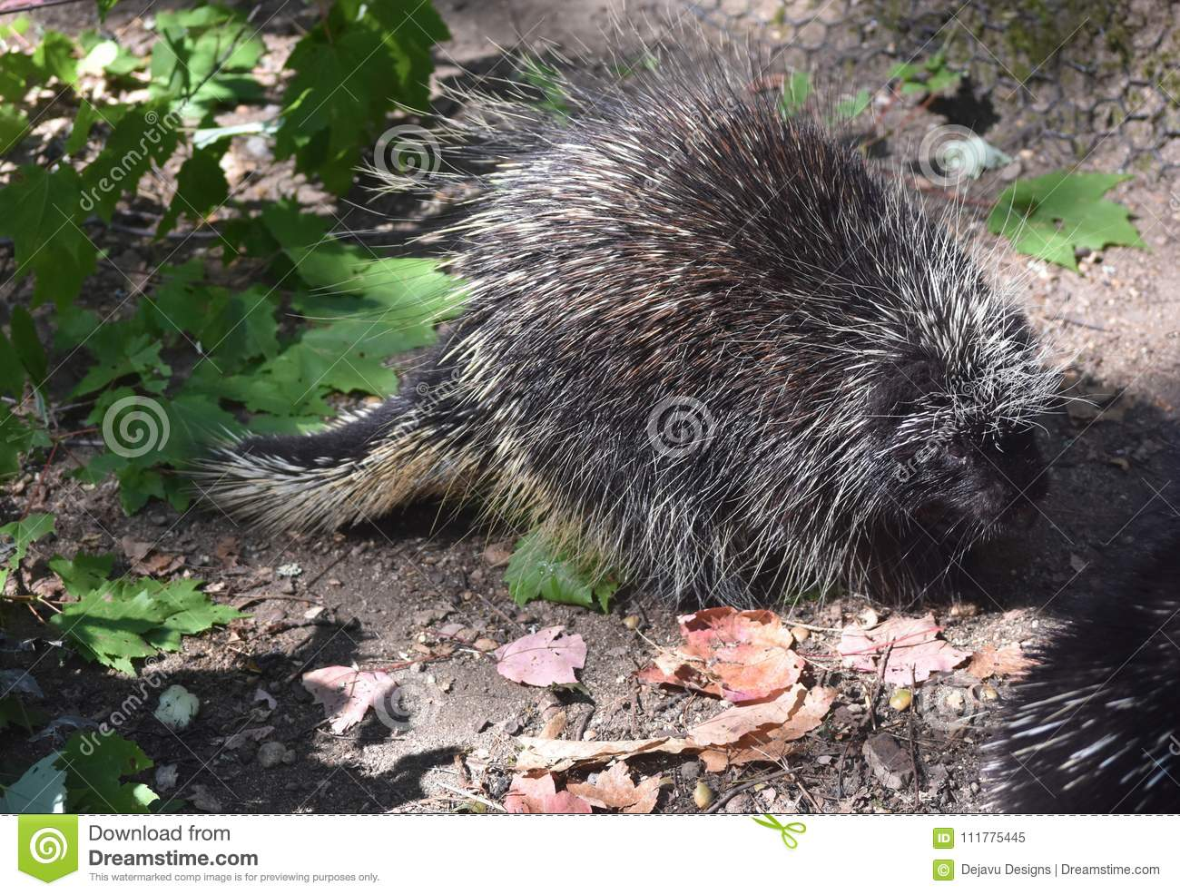 Wild north american porcupine walking past leaves