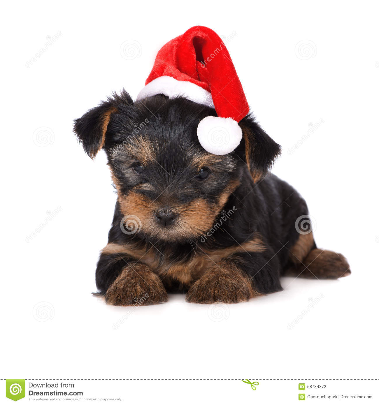 Adorable yorkie puppy in a santa hat stock photo image