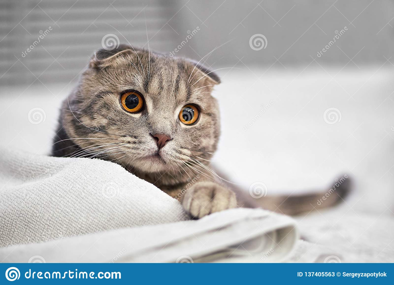 Adorable grey scottish fold tabby cat are squat on white bed in the room