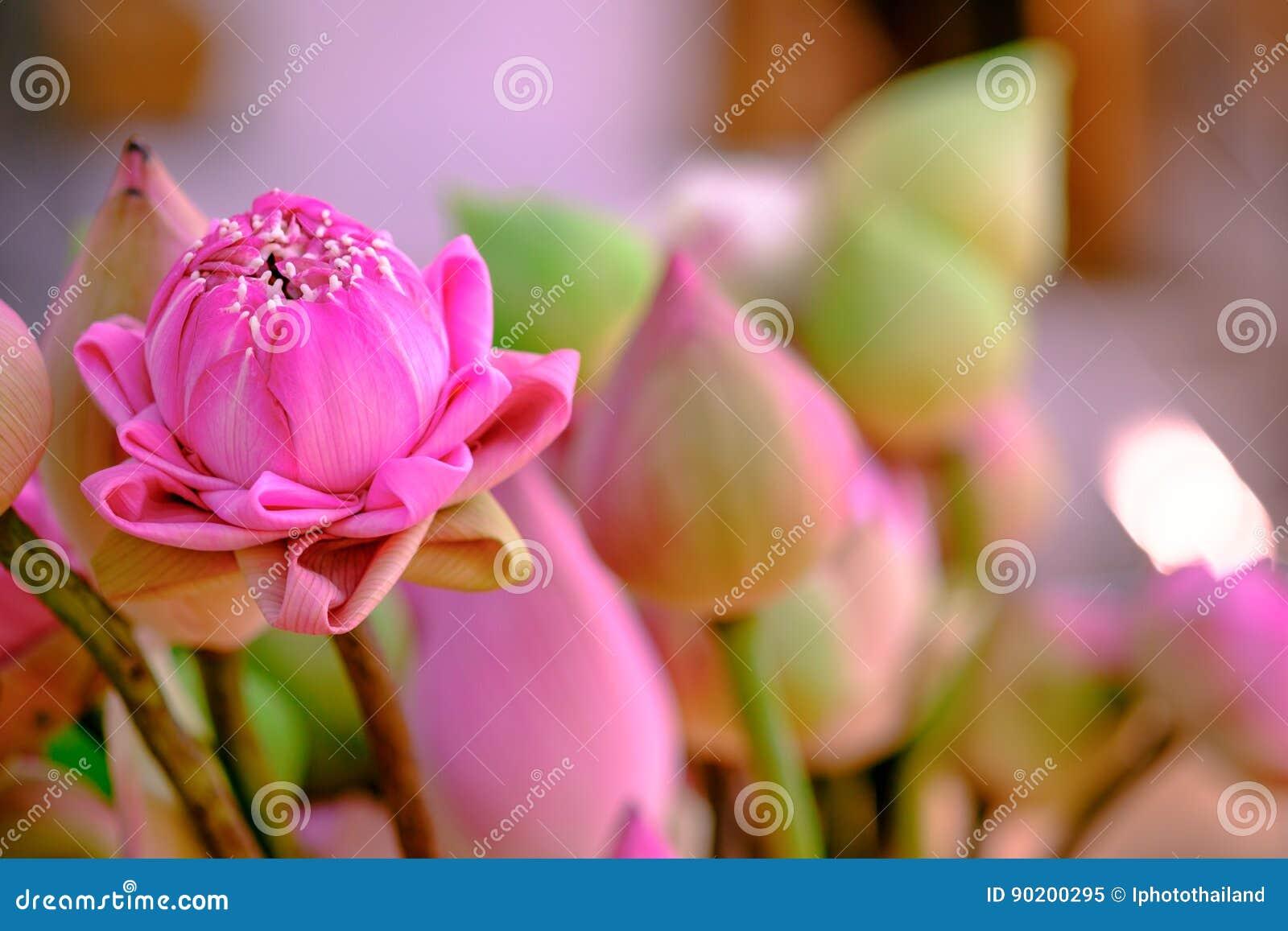 Adore os lótus cor-de-rosa