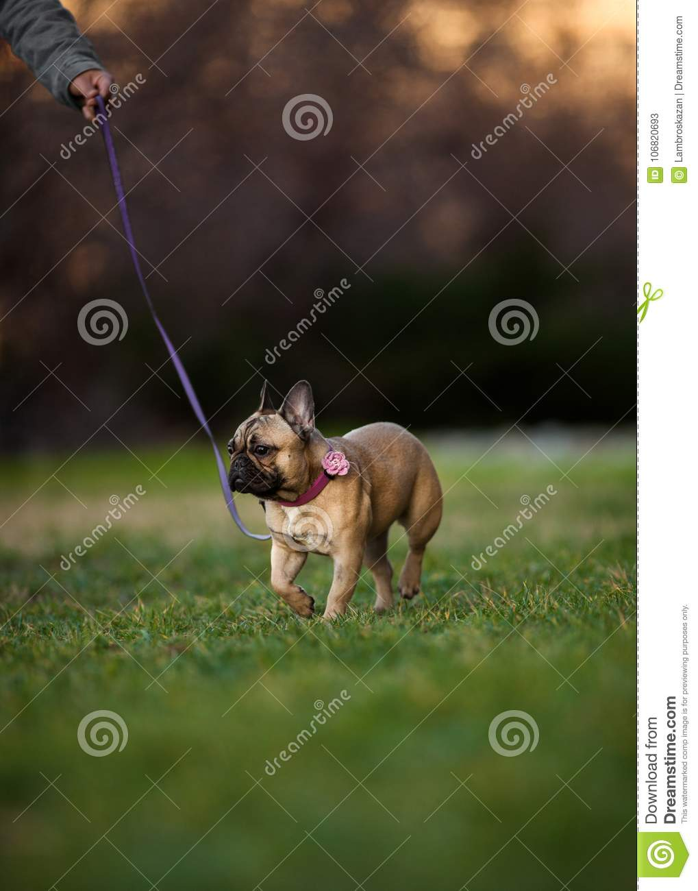 Adoreable Nine Months Old Purebred French Bulldog at Park