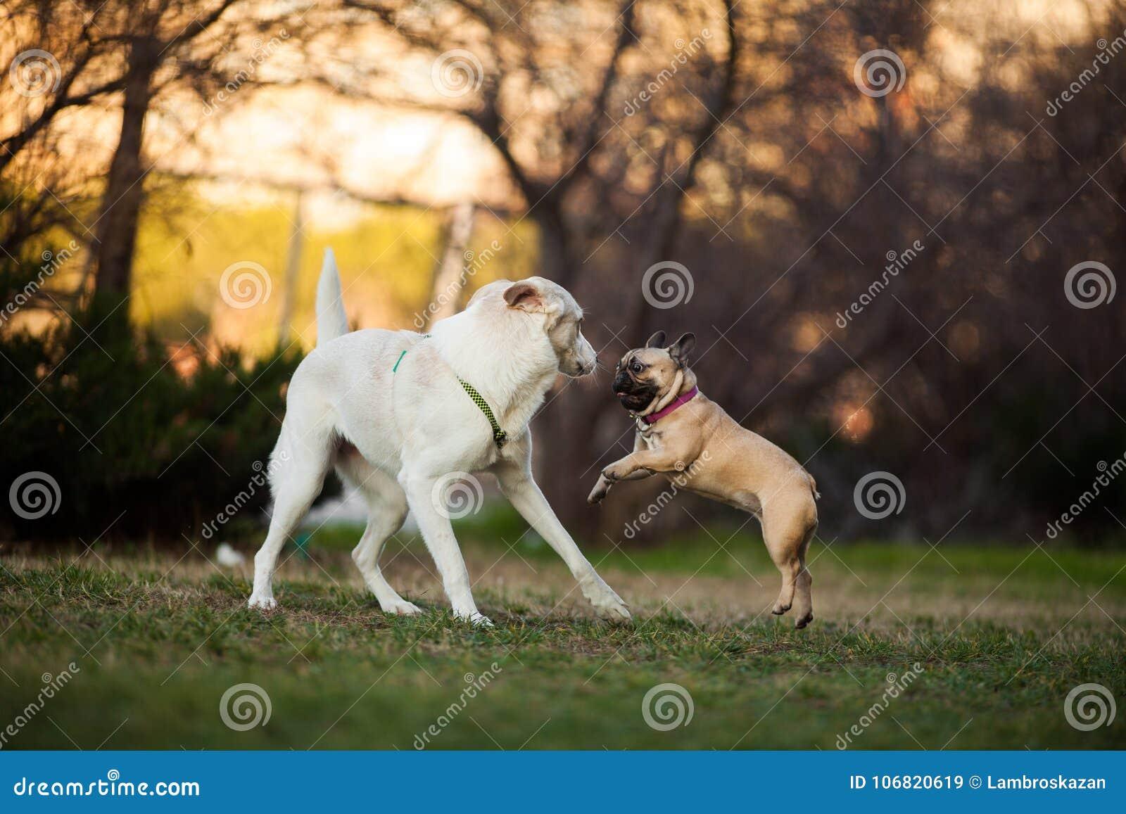 Adoreable nove mesi del bulldog francese di razza al parco