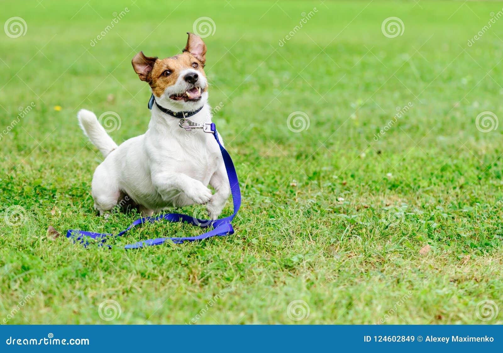 Adotti un concetto dell animale domestico con funzionamento felice ed emozionante del cane con il guinzaglio su terra