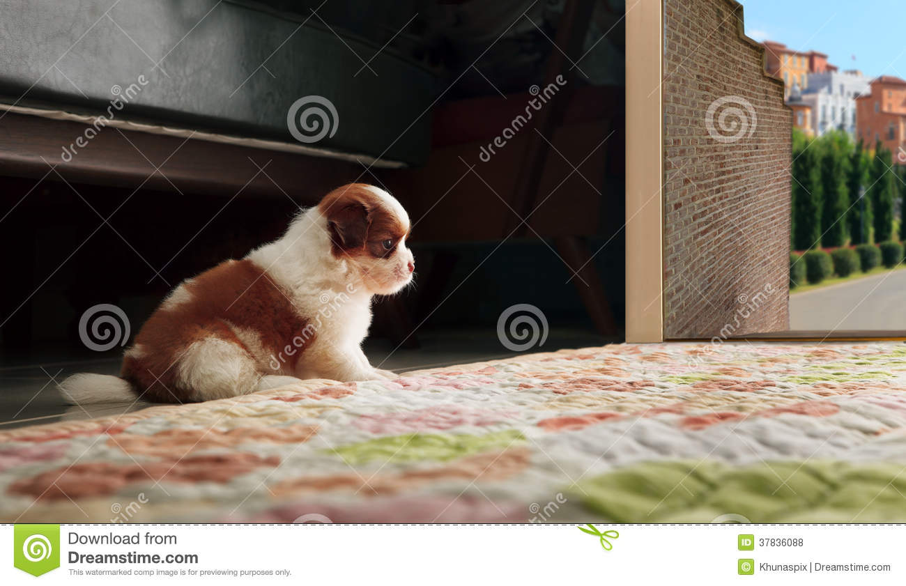 Adrable baby shih tzu puppy dog sitting in front of home door an