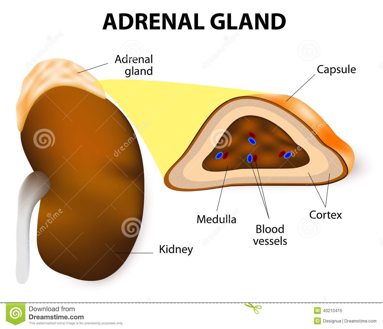 Adrenal Gland Stock Vector Illustration Of Body Disease 40210415