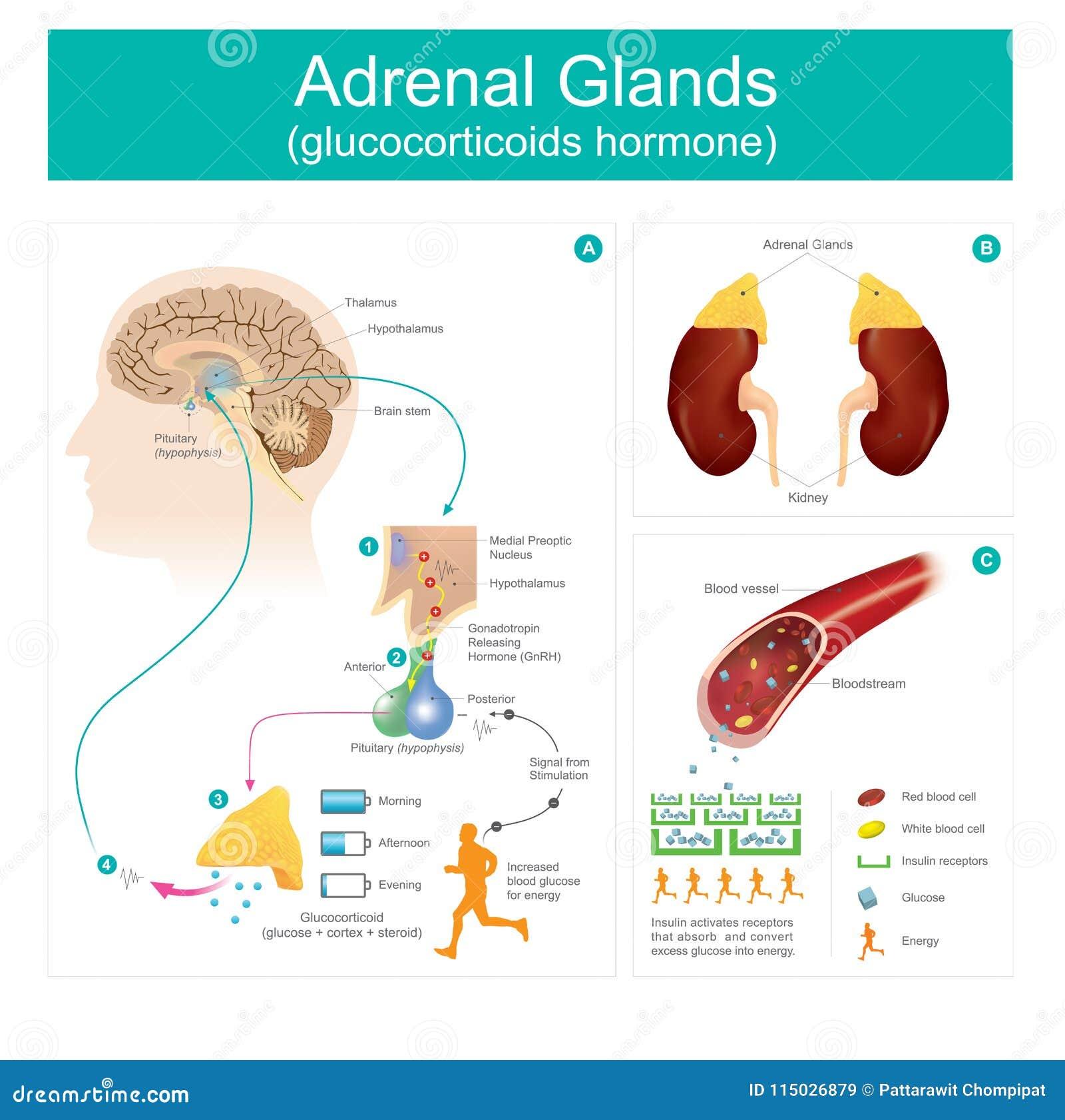 Adrenal Gland Glucocorticoids Hormone Stock Vector Illustration