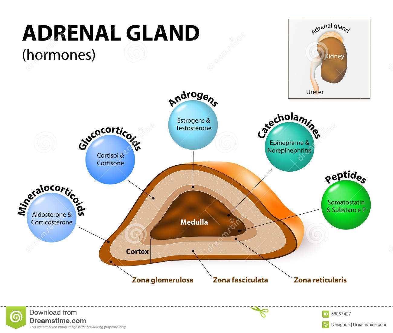 Stock Illustration Adrenal Gland Hormone Secretion Glands Sit Atop Kidneys  posed Outer Cortex Inner Medulla Which Image58867427 on human adrenal gland