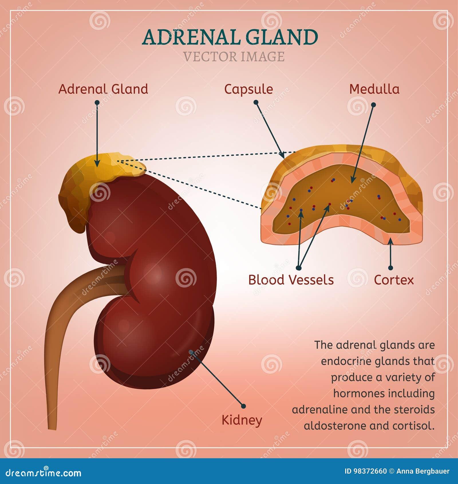 Adrenal gland image stock vector illustration of cancer 98372660 adrenal gland image ccuart Images