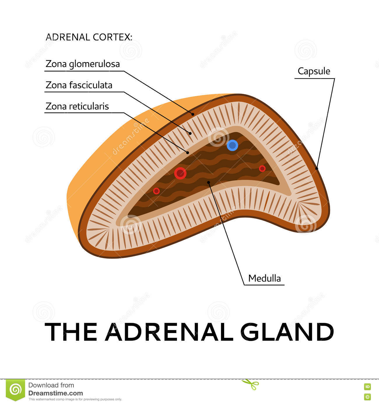 Stock Illustration Adrenal Gland Medical Scheme Illustration Point View Vector Flat Image74370892