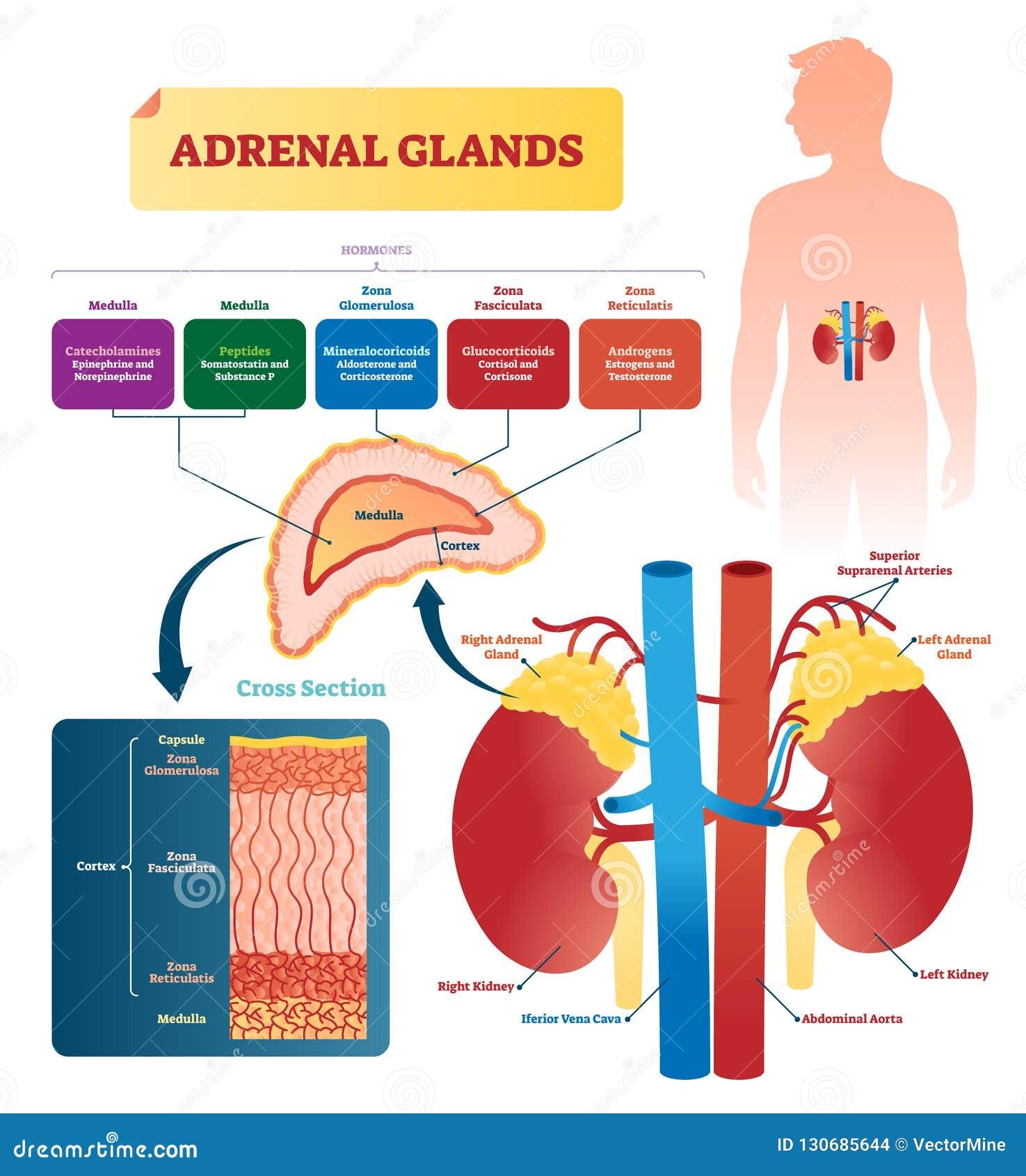 Suprarenal Glands Stock Illustrations 4 Suprarenal Glands Stock