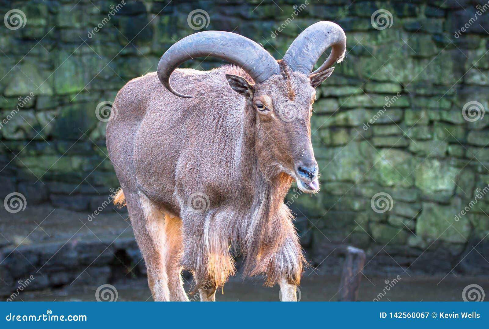 Barbary sheep Ammotragus lervia licking its lips