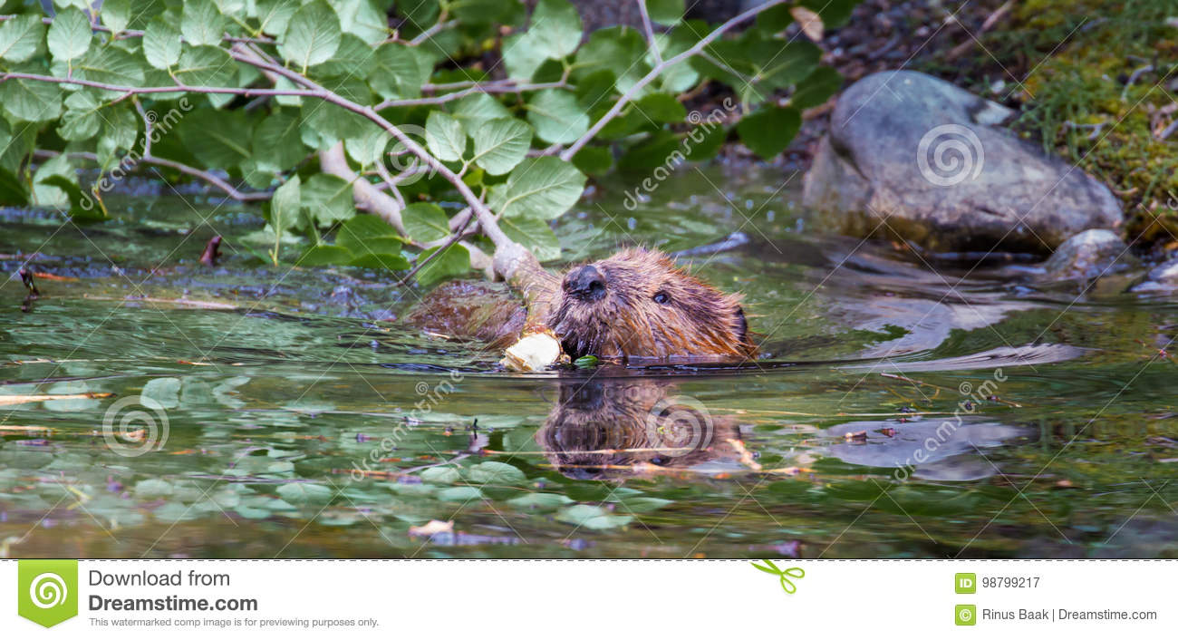 lake pictures adult Beaver