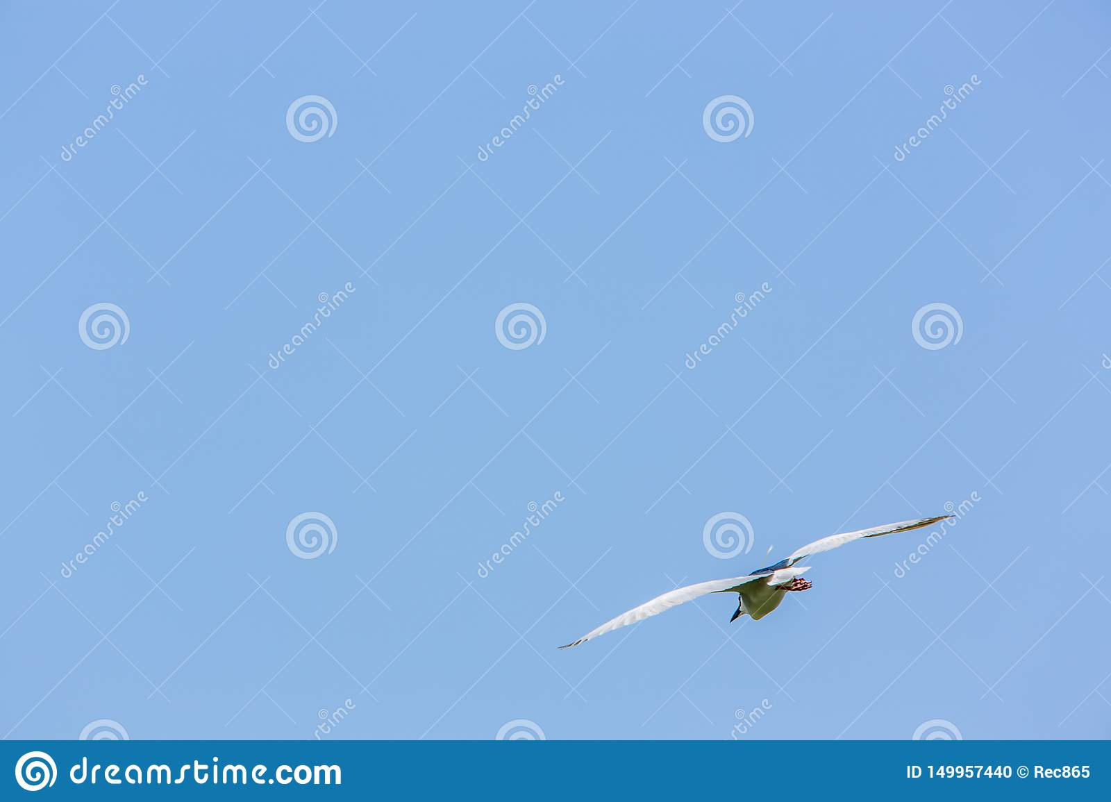 A adult bird Nycticorax Nycticorax flying in a sunny day with blue sky at Taiwan
