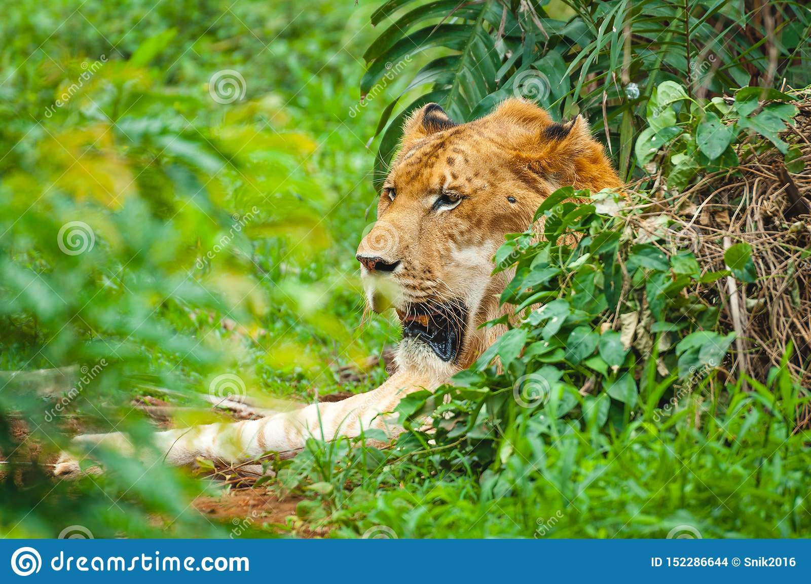 Adult calm lioness lies in dense green thickets
