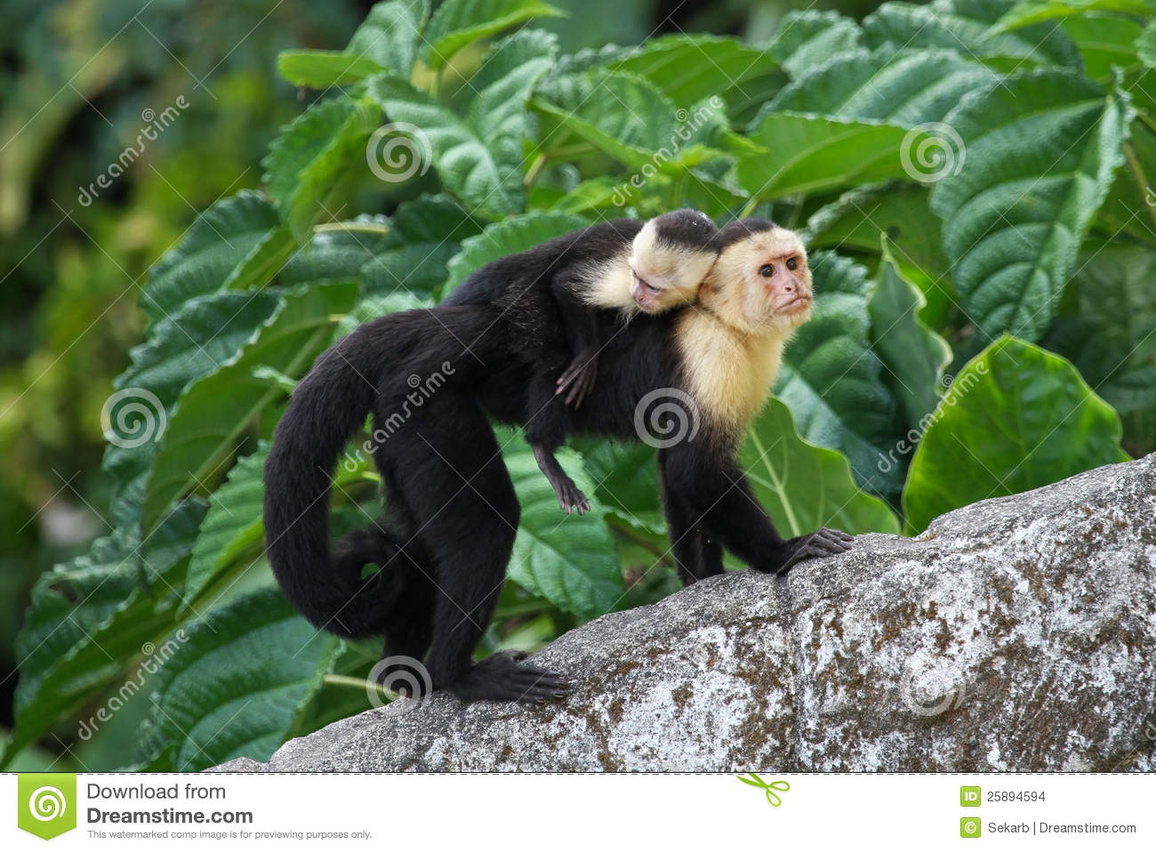 Adult Capuchin Monkey Carrying Baby On Its Back Stock