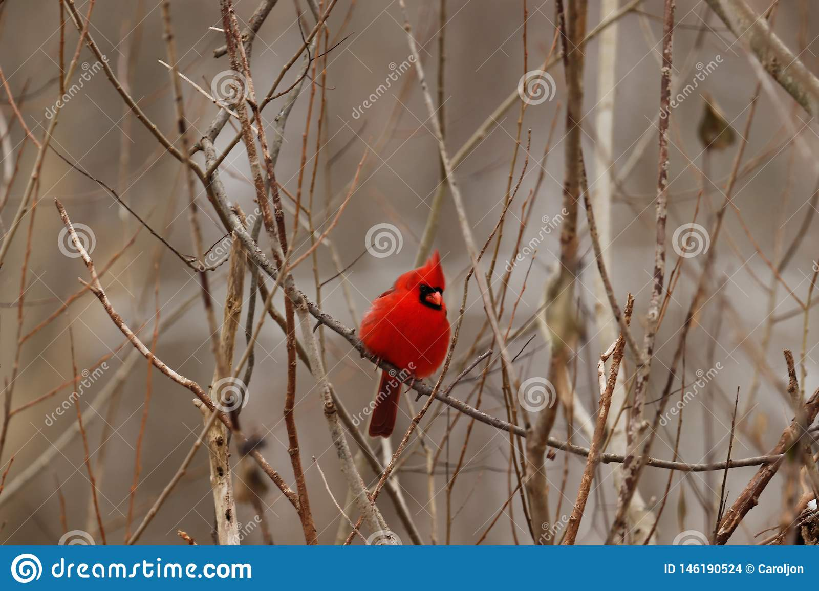 Adult cardinal perched in a tree.