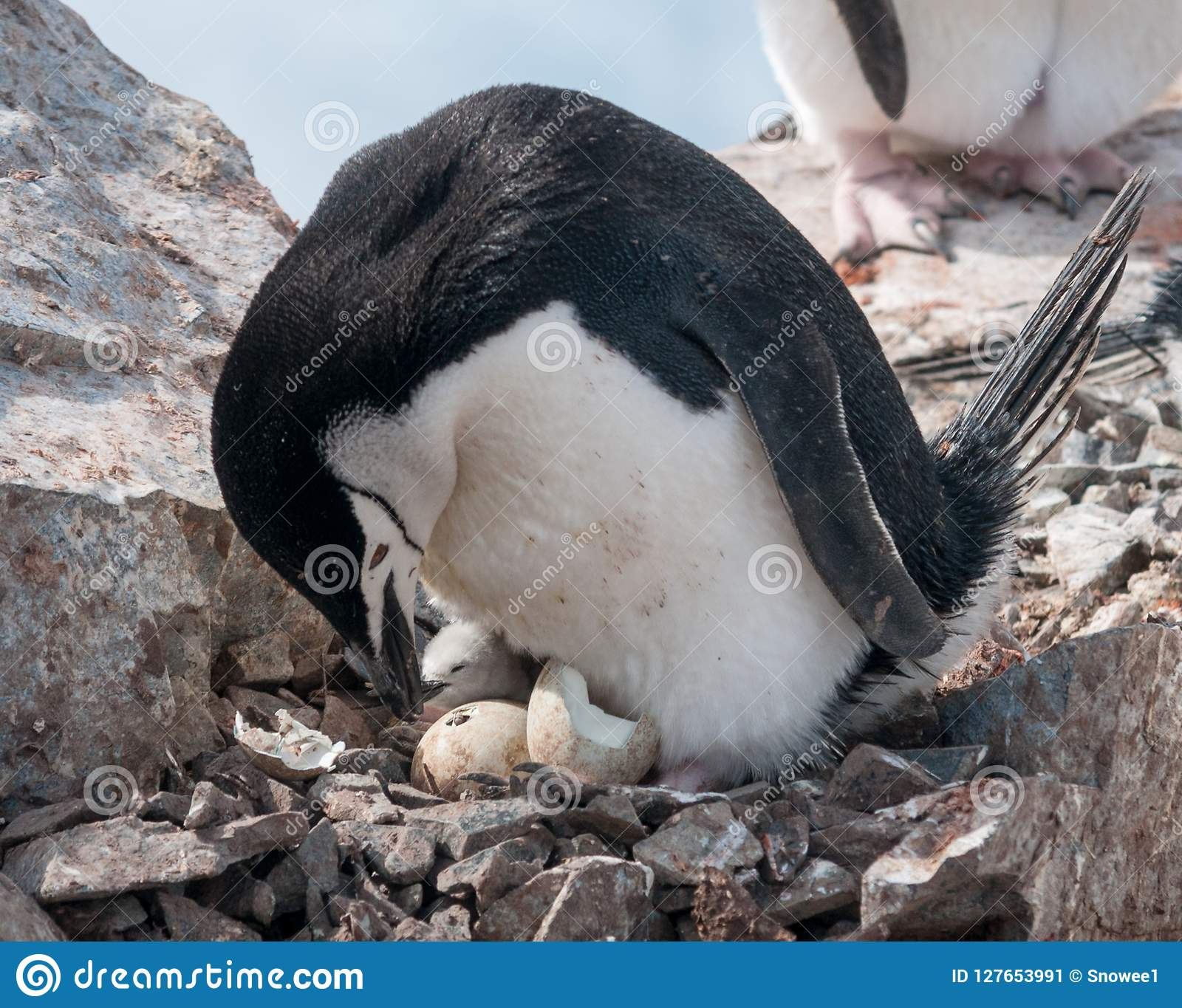 Adult Chinstrap Penguin with chick and hatching egg, Antarctic Peninsula