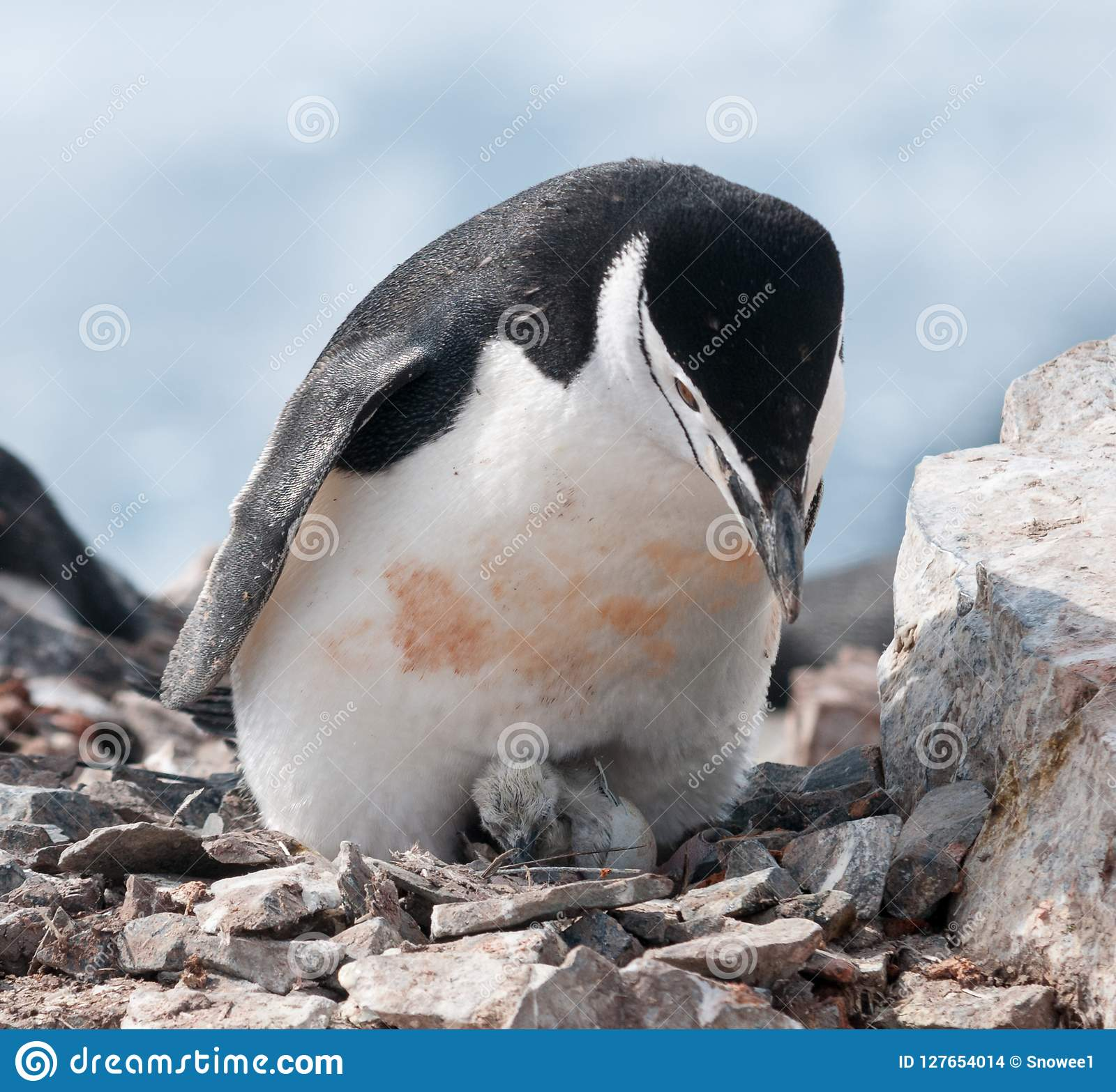 Adult Chinstrap Penguin with newly hatched chick, Antarctic Peninsula