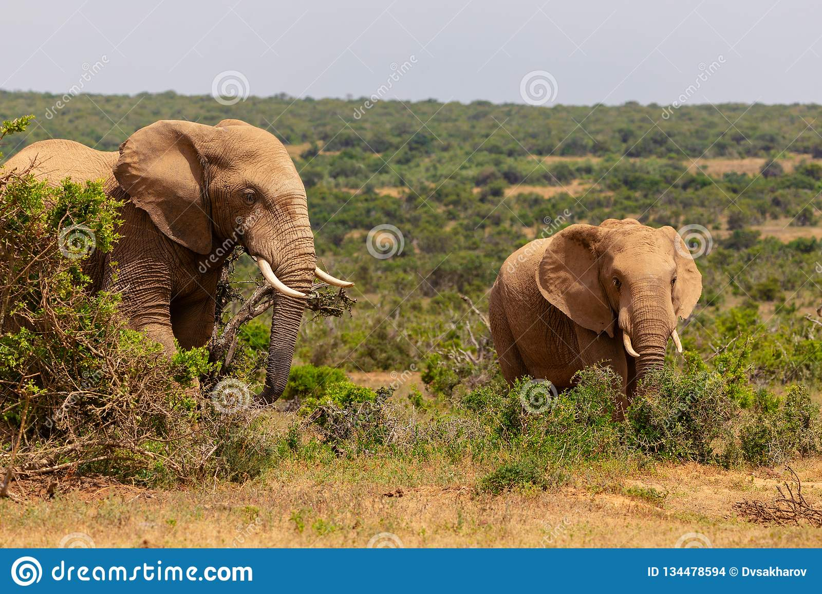 Adult elephant and baby elephant walking together in Addo National Park