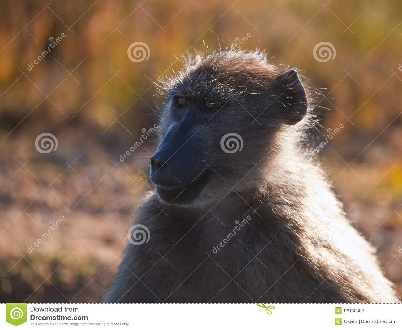 Adult female baboon looks away.