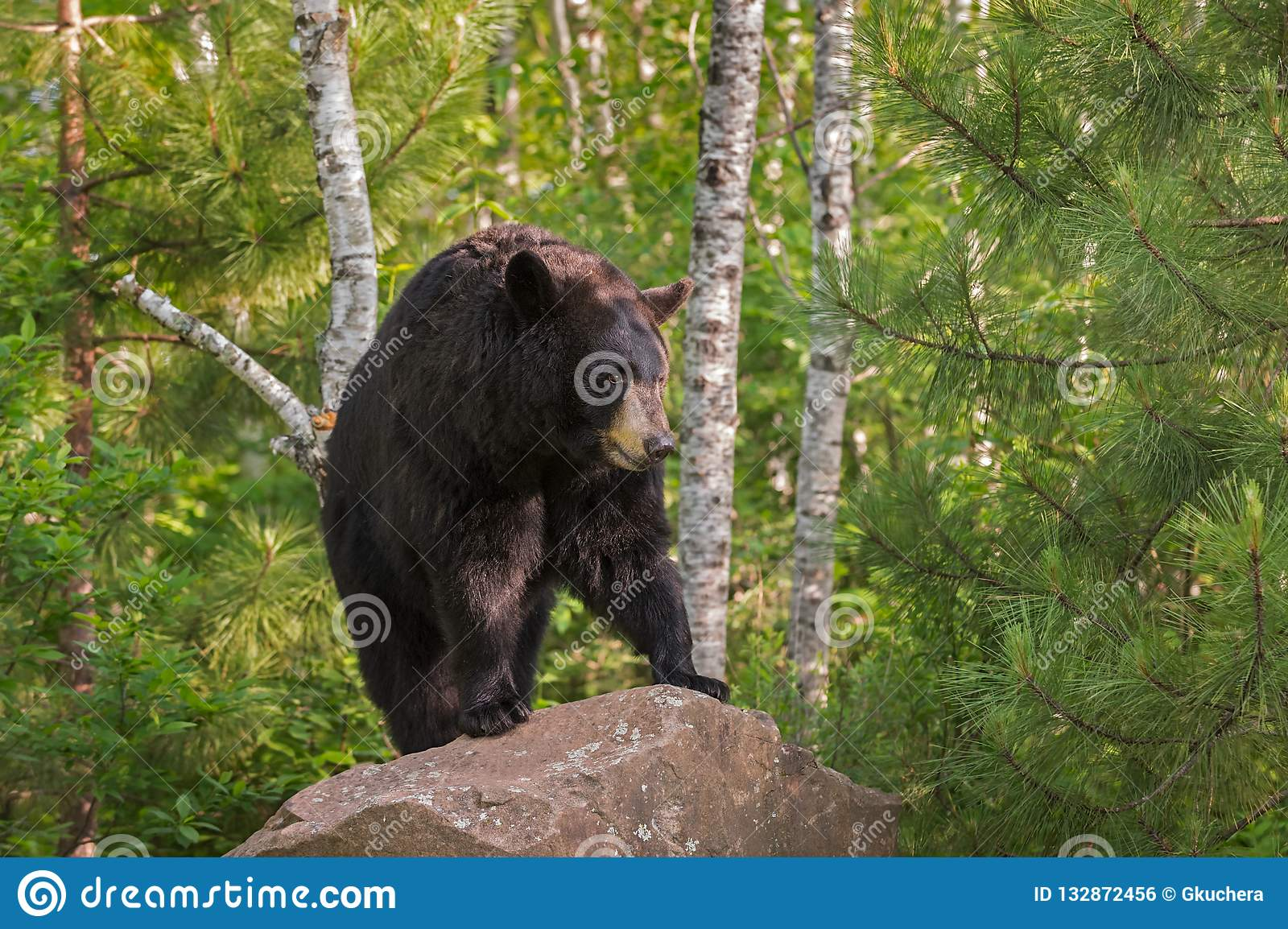 33 068 Black Bear Photos Free Royalty Free Stock Photos From Dreamstime