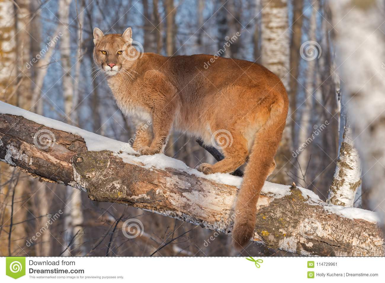 b21d4dbc1a3d Adult Female Cougar Puma Concolor Annoyed In Tree Stock Image ...
