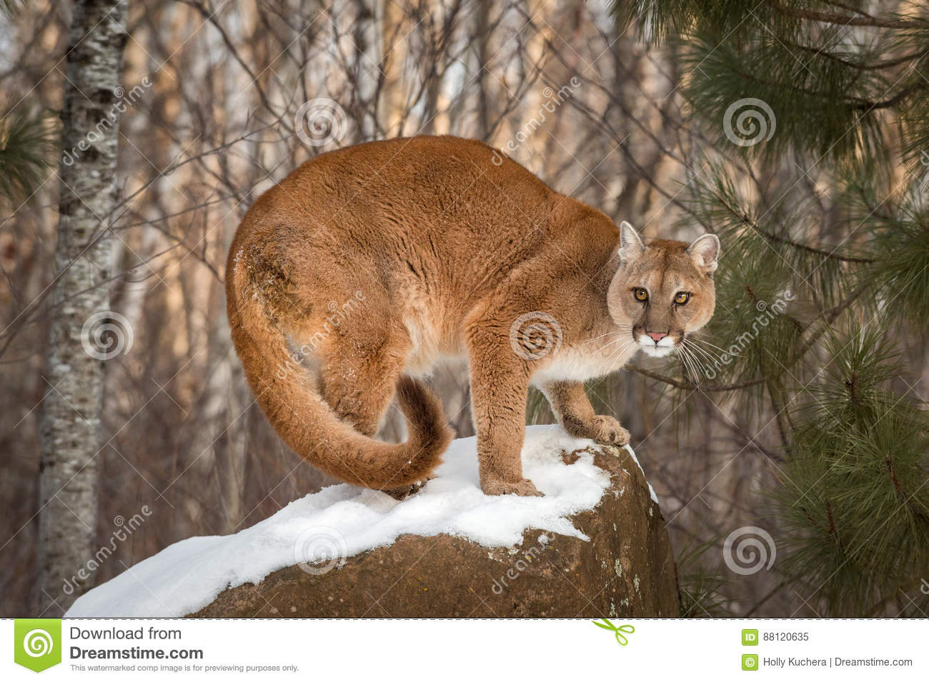 29cddc654f5a Adult Female Cougar Puma Concolor Crouches On Snow Covered Roc Stock ...