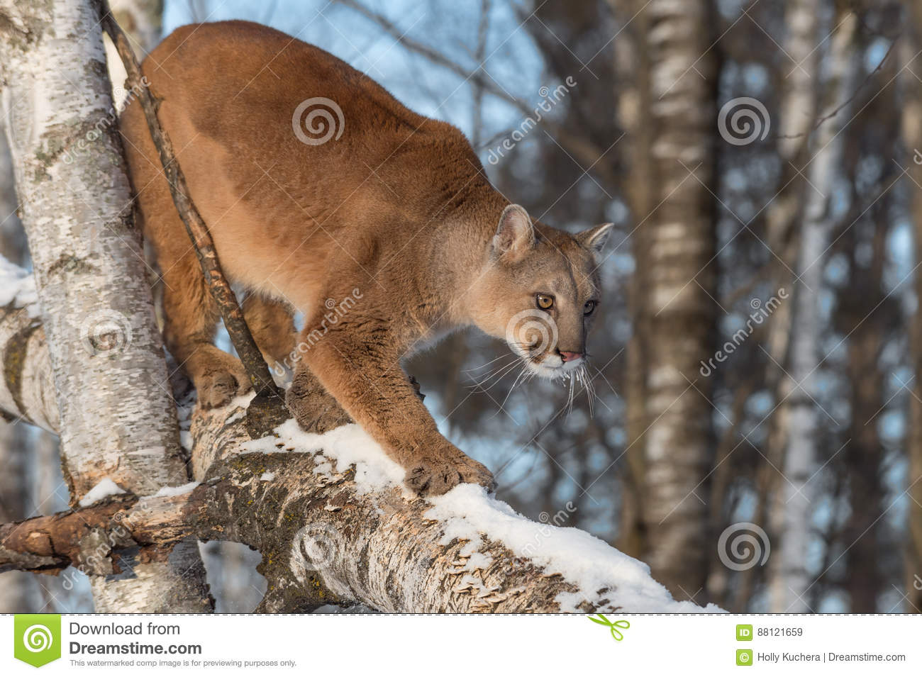 b2d84d7743b9 Adult Female Cougar Puma Concolor Walks Down Birch Branch Stock ...