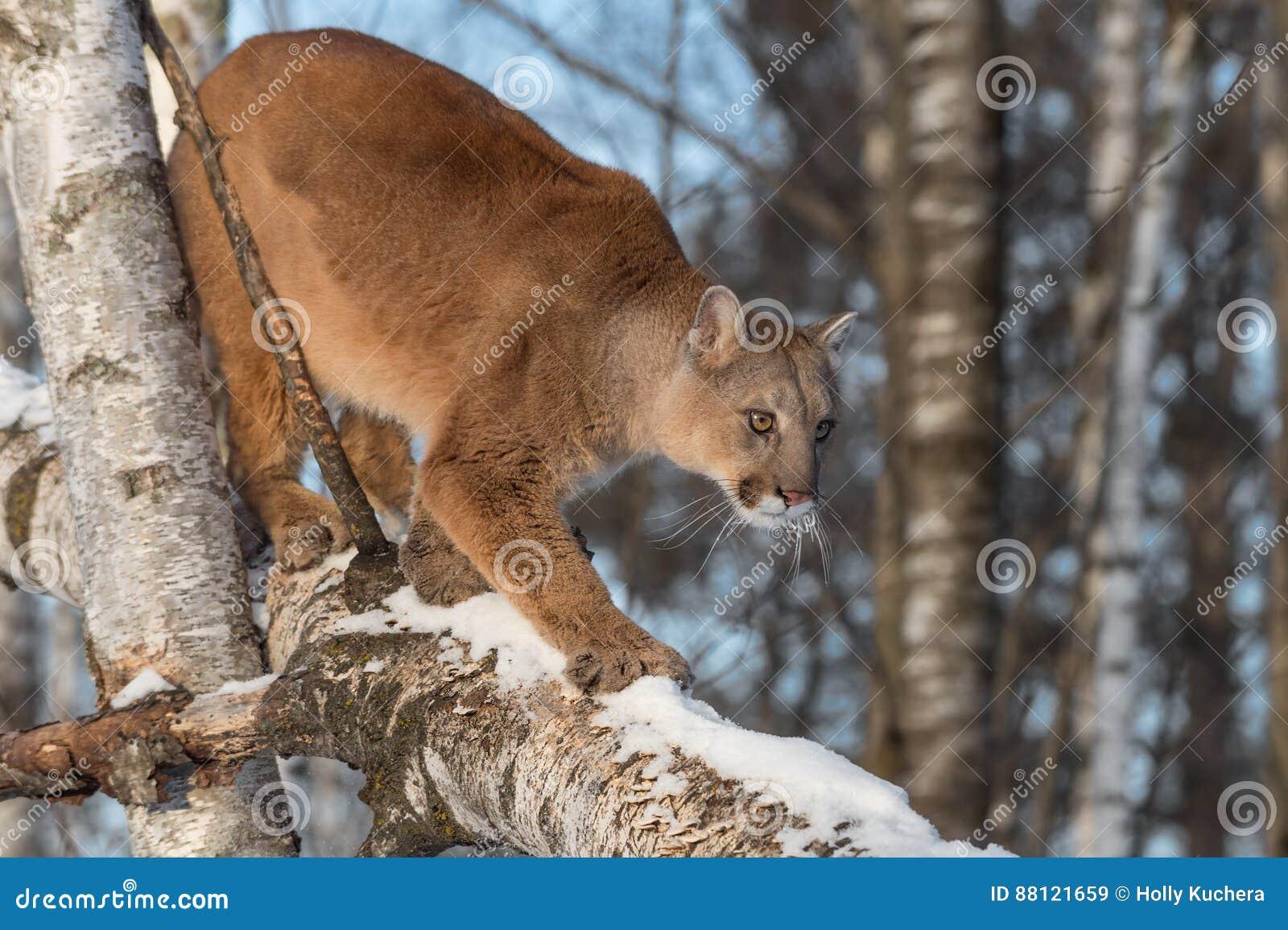 767e9c35524bc Adult Female Cougar Puma Concolor Walks Down Birch Branch Stock ...
