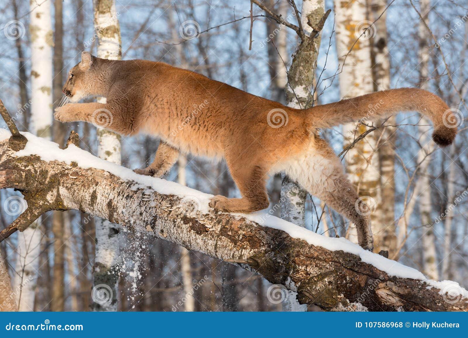 adf20680f3e52 Adult Female Cougar Puma Concolor Walks Up Birch Stock Photo - Image ...