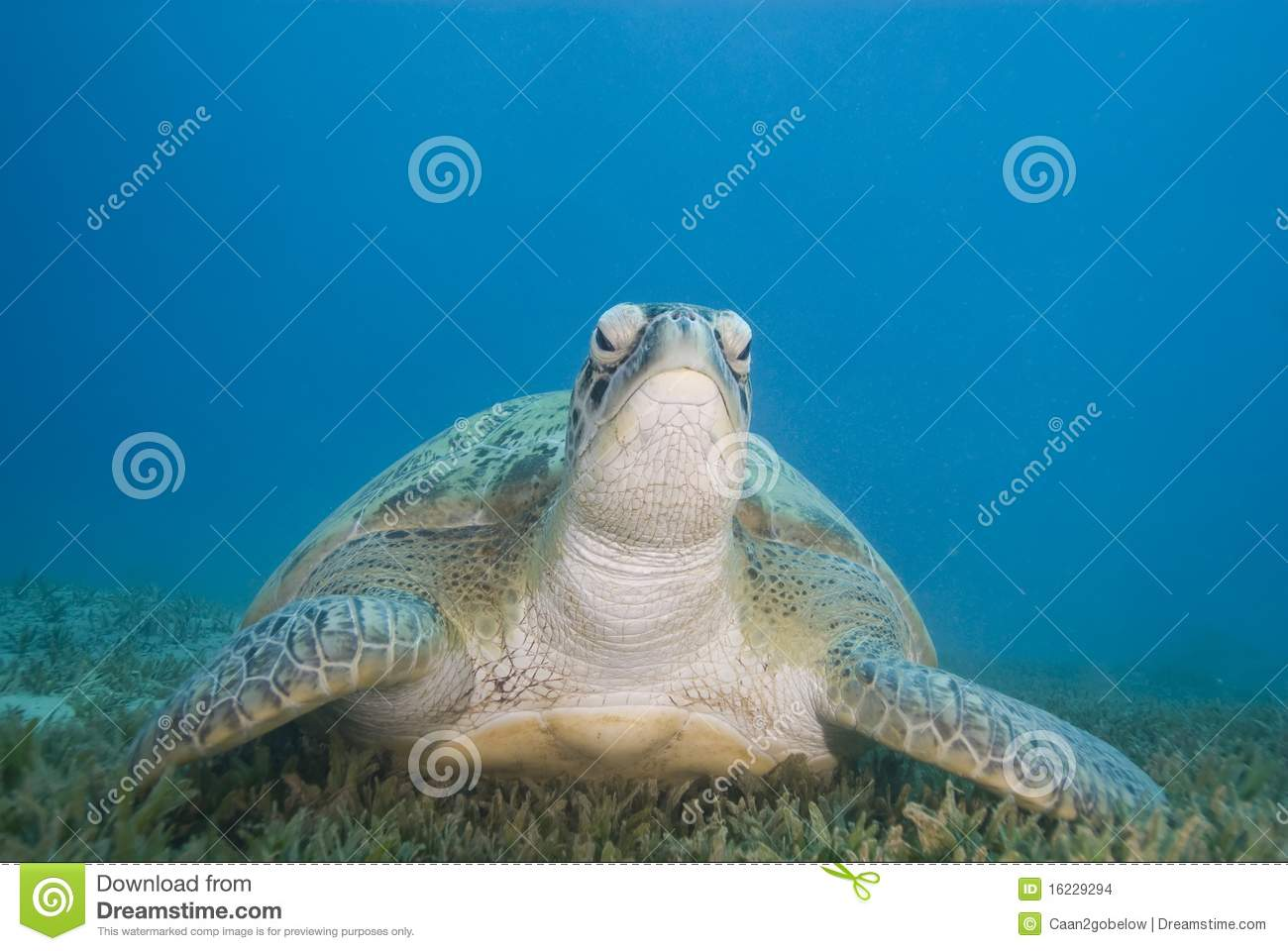 green sea sex chat Climate change is turning green sea turtles  barrier reef have caused more than 99 percent of green sea turtles to  sea turtle sex is a function of.