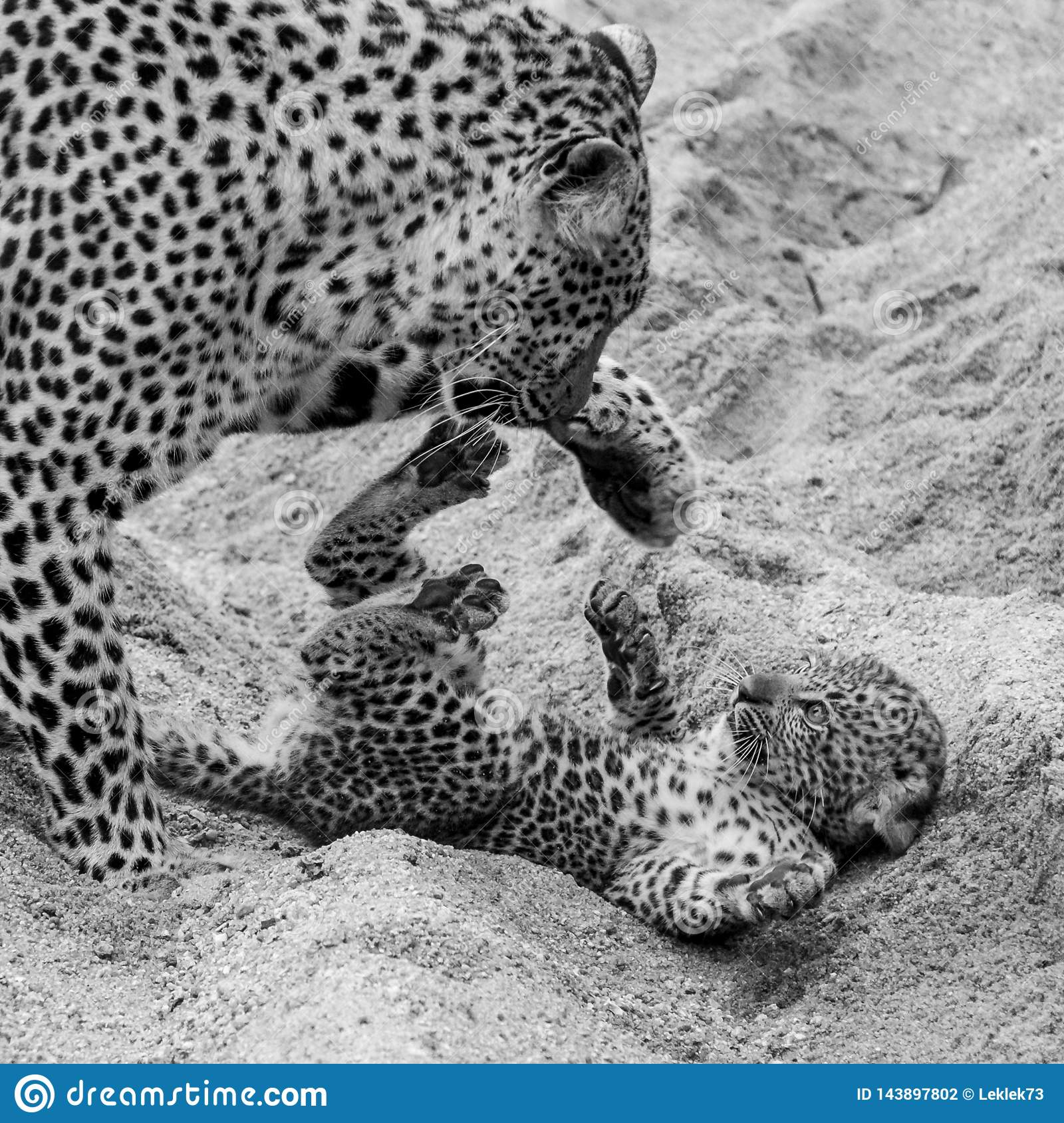 Adult female leopard and cub playing in the sand at Sabi Sands safari park, Kruger, South Africa