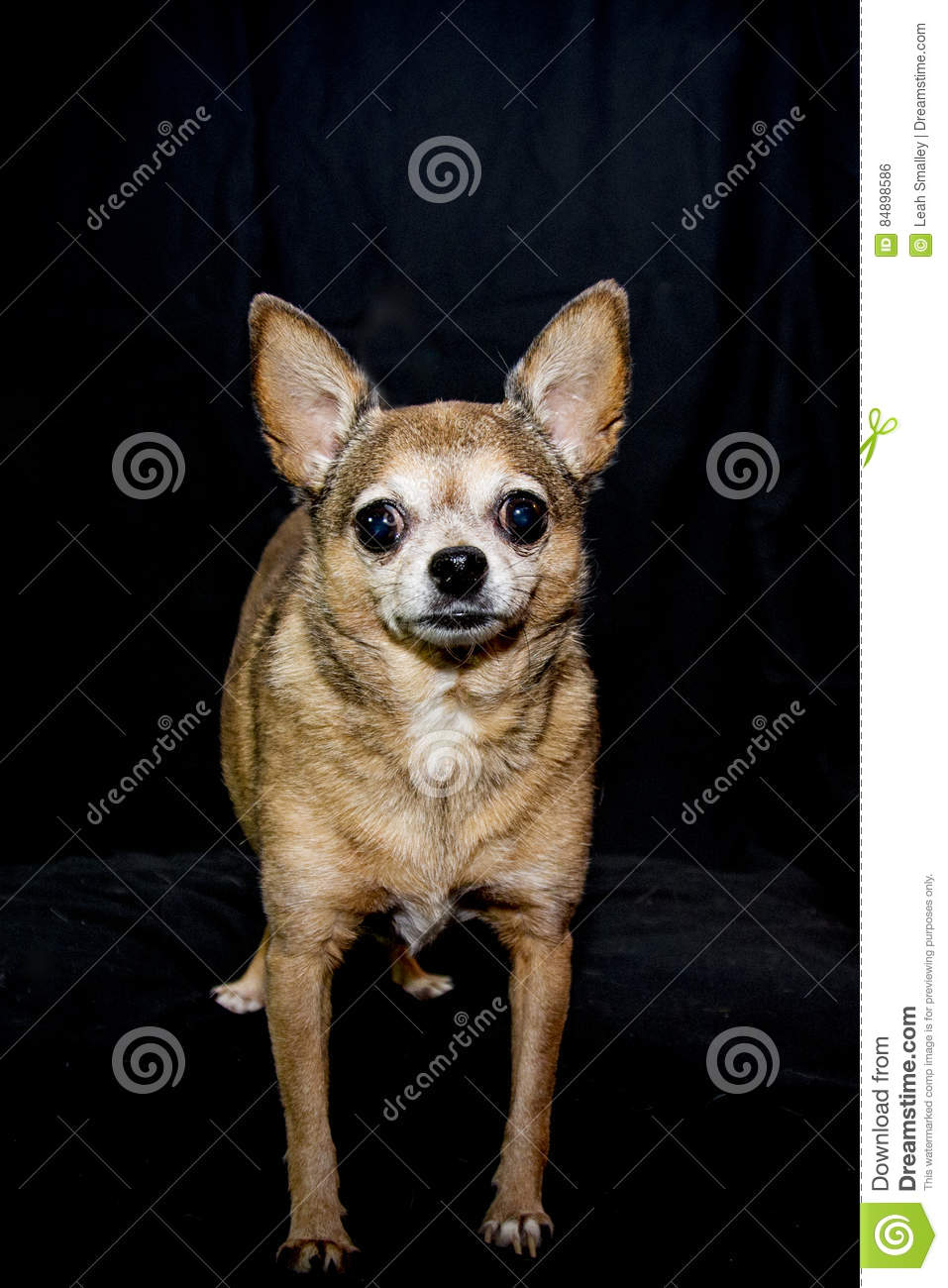 Adult Female Teacup Chihuahua Stock Photo - Image of worlds