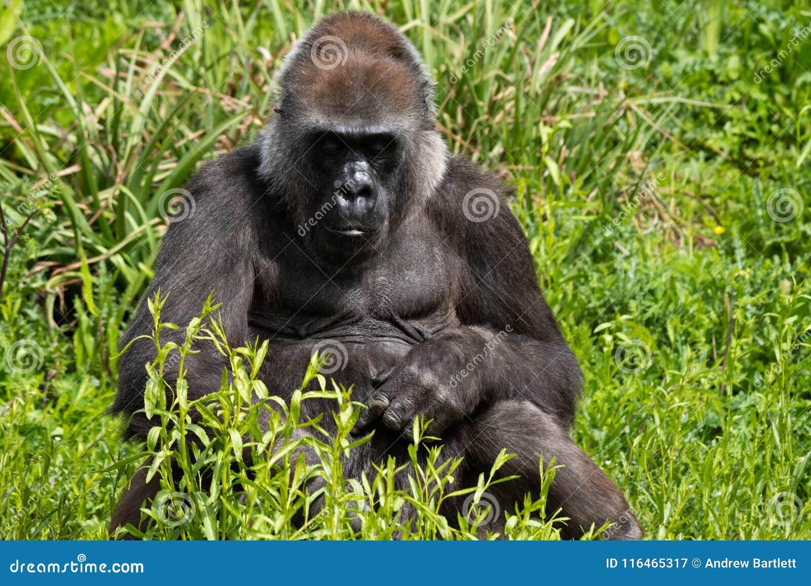 Romina, an adult Western Lowland Gorilla feeding at Bristol Zoo, UK.