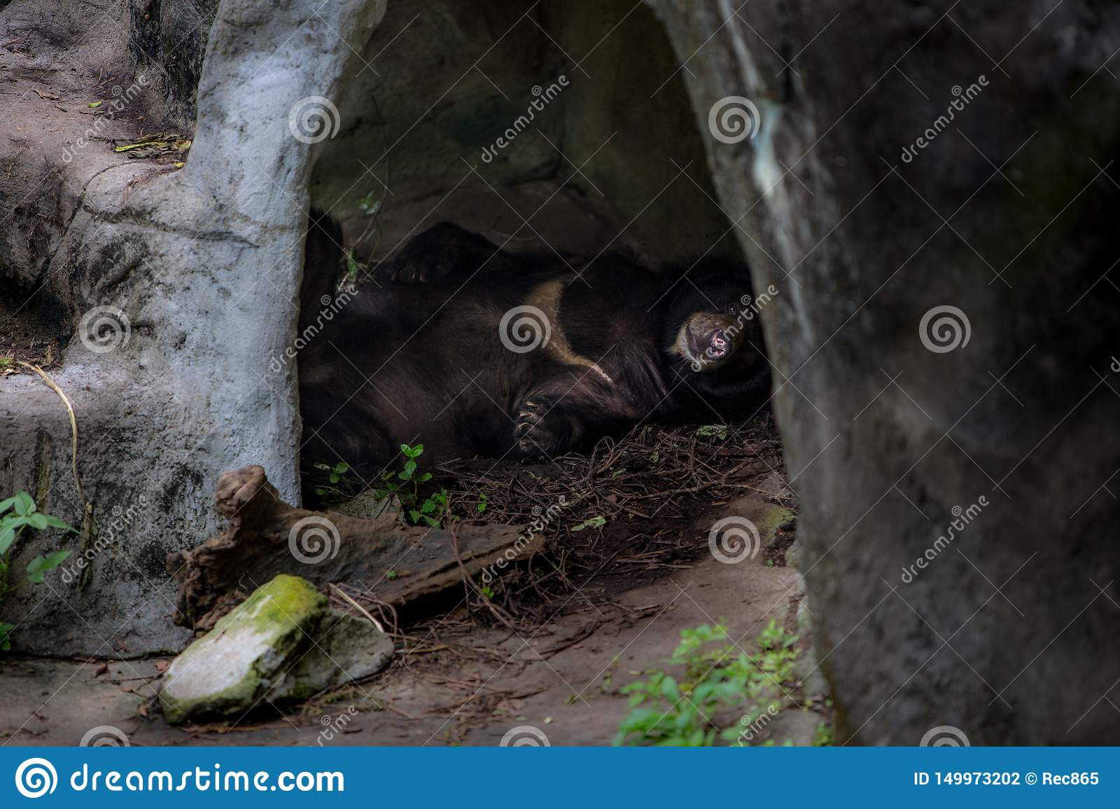 An adult Formosa Black Bear sleeping in the cave