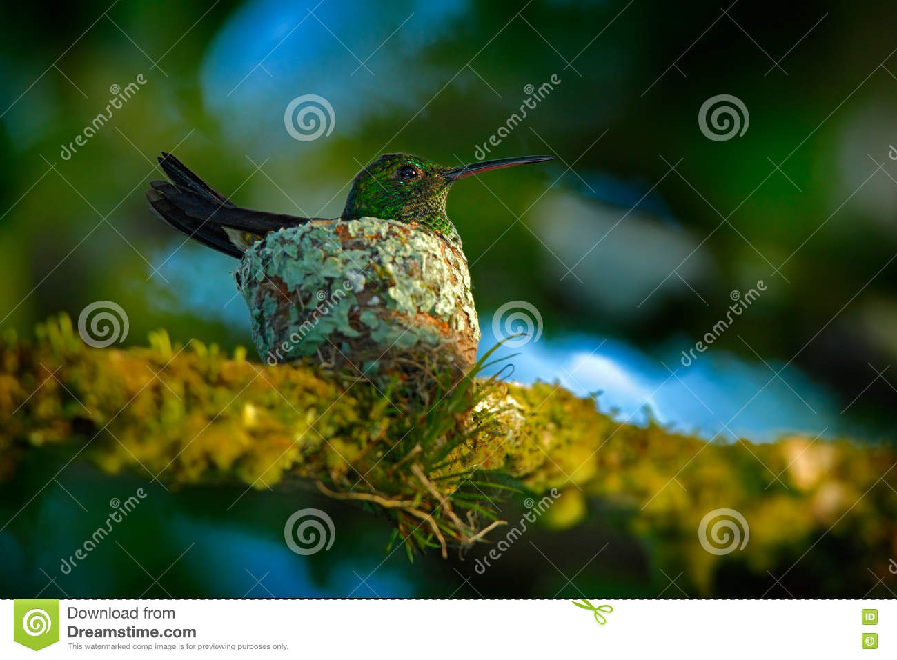 Adult hummingbird sitting on the eggs in the nest, Trinidad and Tobago. Copper-rumped Hummingbird, Amazilia tobaci, on the tree