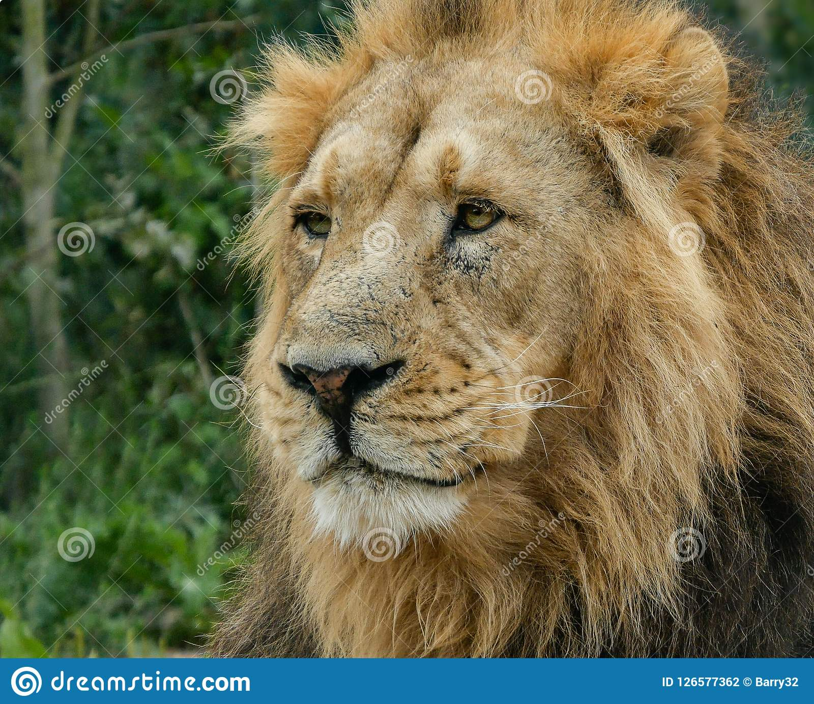 Adult male Asiatic Lion portrait, head and face, looking off into the distance with foliage background.