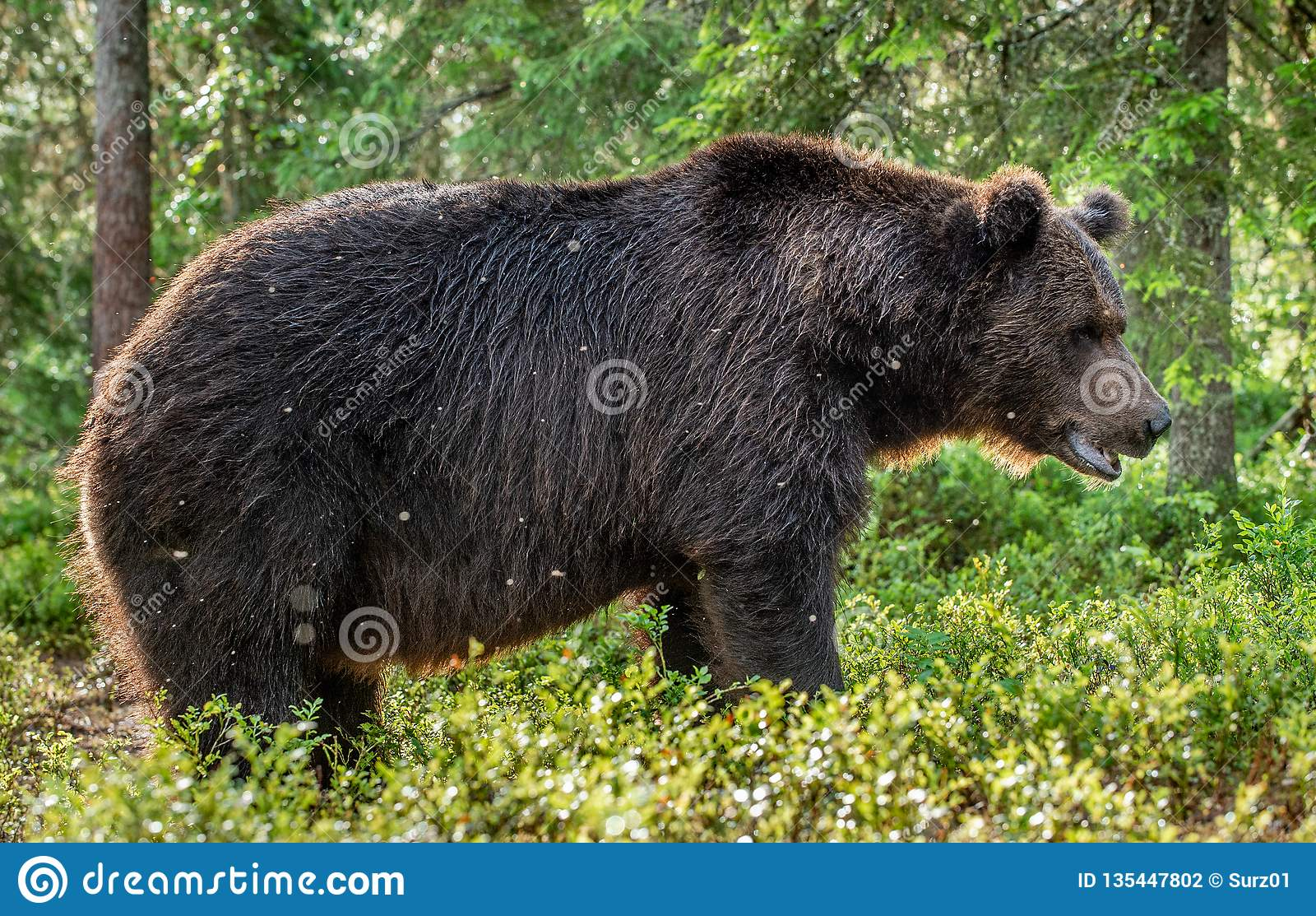 polish-girl-adult-male-bear-kusboo