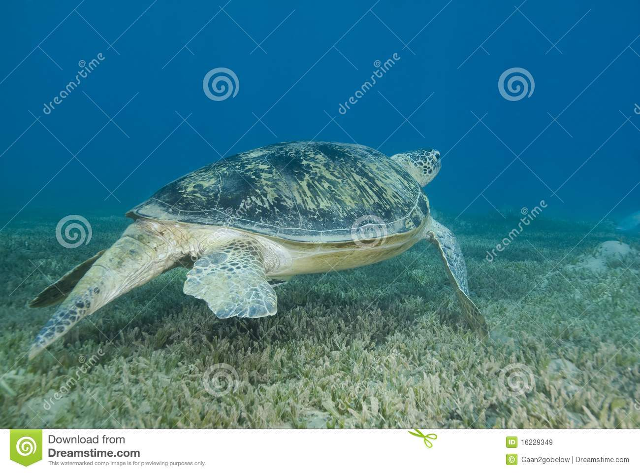 Adult male Green turtle swimming over seagrass.