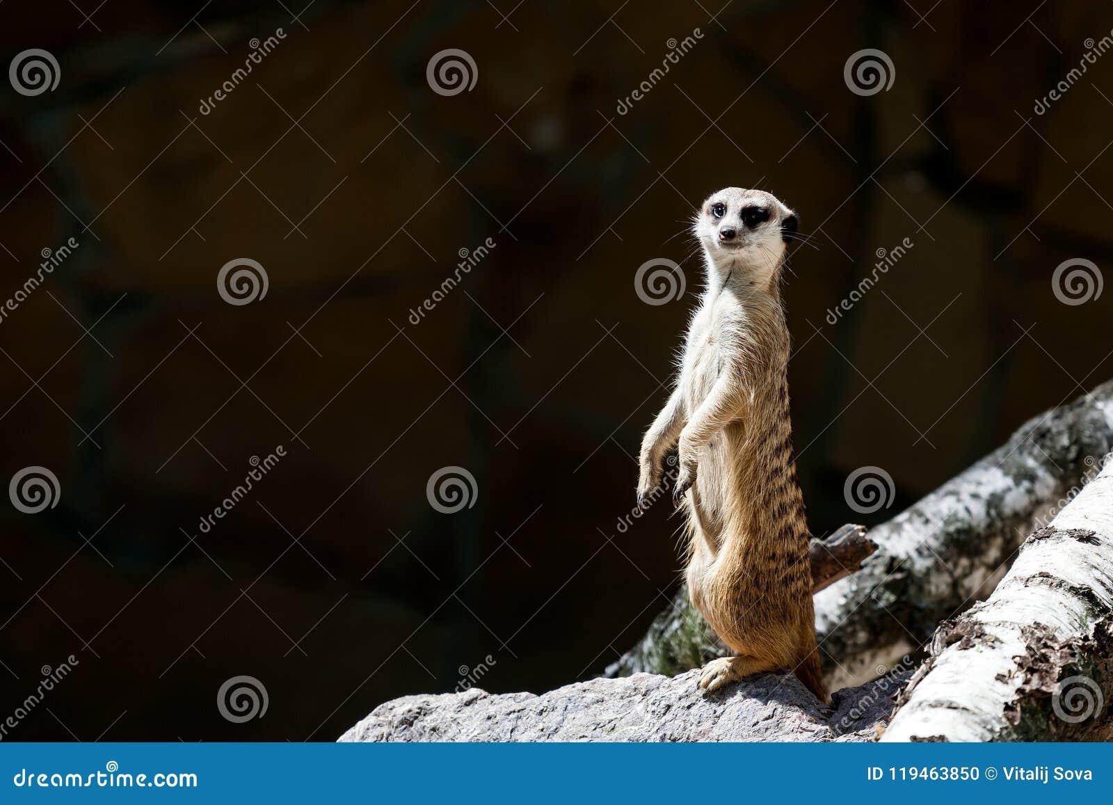 Adult Meerkat Stock Photo Image Of Eyes Hair Cute 119463850