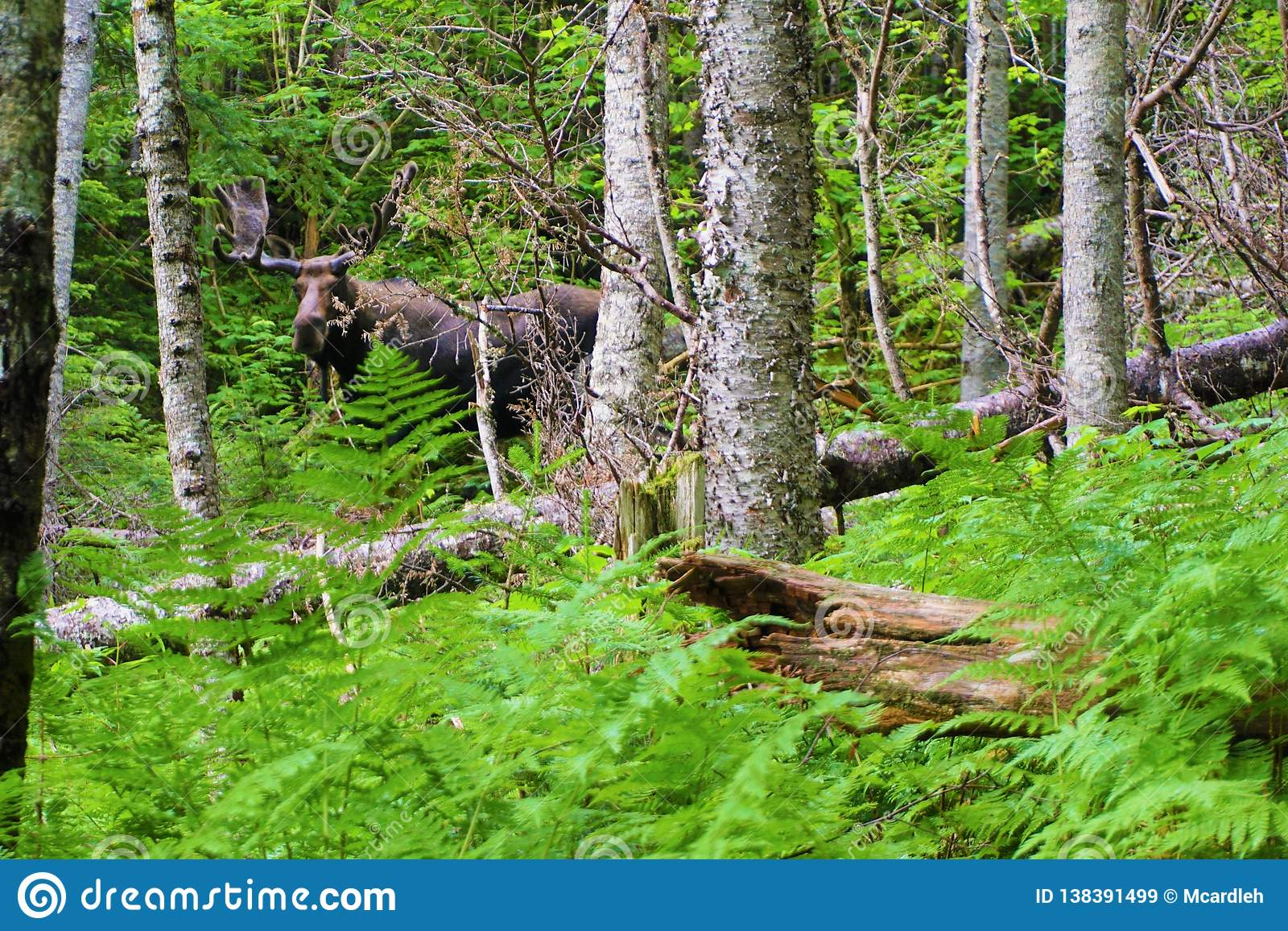 Adult moose with large velvet rack