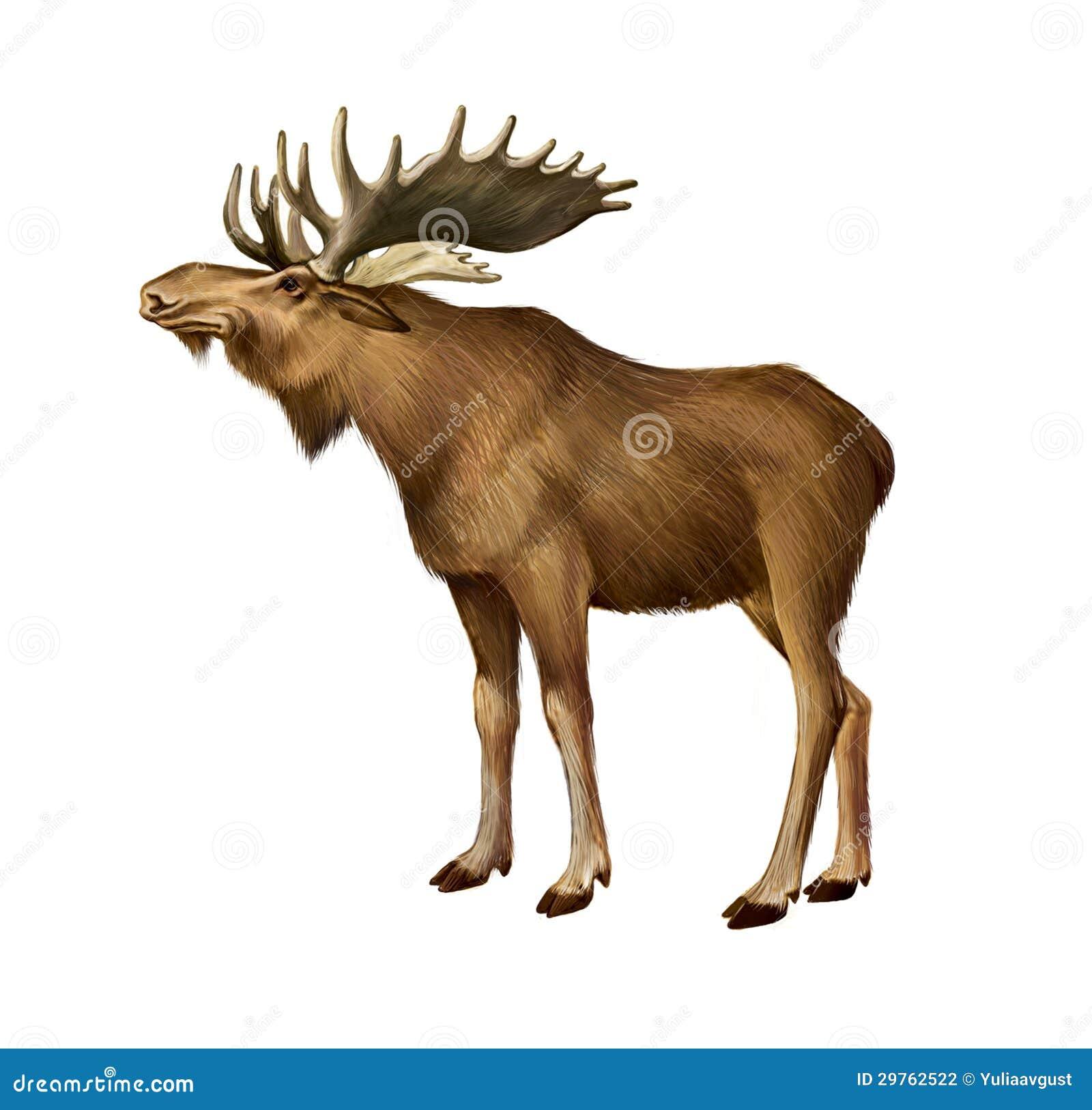 Ungulate Zoo Adult Moose Standing. ...